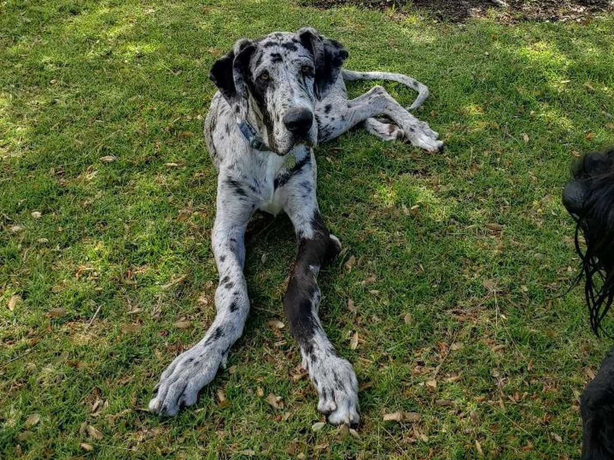 Fundraiser by Ted Marsh : Great Dane Ricky